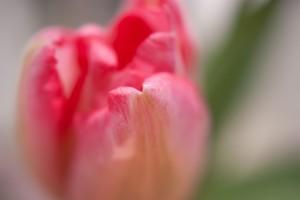 花の写真(チューリップ)